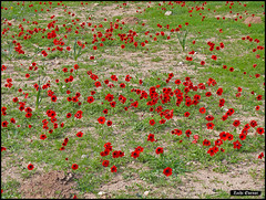 Dense group of Anemone coronaria flowers, Israel (Zachi Evenor) Tags: flowers red flower nature carpet israel natural reserve anemone negev carpets pure  pura   calanit coronaria anemonecoronaria   kalanit        zachievenor