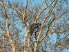 peacock roosting in bandipur (travellersai) Tags: kerala treehouse wayanad teaestate wildboar bandipur chital vythri banasuradam soojiparafalls streamvalleyresorts
