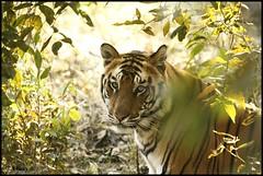 Framed By Bushes (Vinay Narayana Swamy) Tags: wildlife sony tiger alpha madhyapradesh pantheratigris bandhavgarh a700 bandhavgarhnationalpark sonyalpha royalbengaltiger indiawildlife alpha700 sonya700 70400g sony70400g