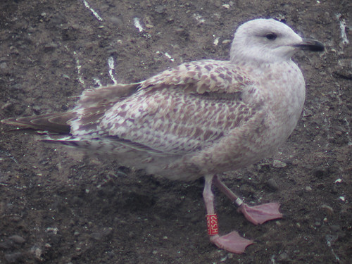 Herring Gull - RED [H-522] / white