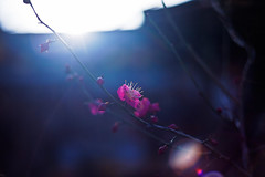 always the sun (moaan) Tags: life leica light sunlight sunshine digital 50mm dof shine blossom bokeh dr beam summicron utata flare ume m9 japaneseapricot f20 2011 inlife leicasummicron50mmf20dr leicam9 gettyimagesjapanq2