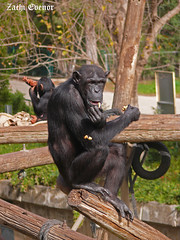 Chimp Eating (Zachi Evenor) Tags: animal animals zoo israel safari pan chimpanzee troglodytes      zoologicalcentertelavivramatgan  zachievenor telavivramatganzoologicalcenter