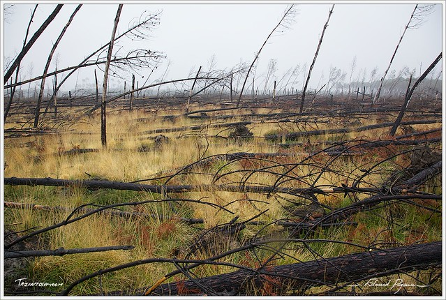 Forêt landaise dévastée | Devastated forest in Landes