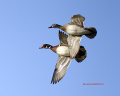 Wood Duck Male and Female In Flight  Palm Beach County (kevansunderland) Tags: canon duck migration woodduck birdinflight floridawildlife naturesfinest migratorybird floridabirds flickrdiamond woodduckinflight woodduckpairinflight