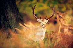 :P (andrew evans.) Tags: wood morning autumn trees england tree nature fairytale forest sunrise countryside kent woods nikon bokeh wildlife deer ethereal wonderland storybook magical f28 enchanted d3 400mm