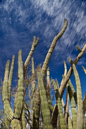 Organ Pipe and Palo Verde