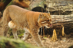 Asiatic Golden Cat (Ami 211) Tags: feline bigcats felidae smallcats felinae catopuma asiaticgoldencat catopumatemminckii temminckiiscat