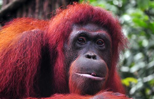 Orangutan  -- Singapore Zoo --