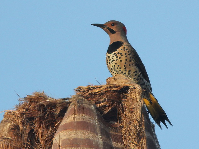 Northern Flicker male 20110306