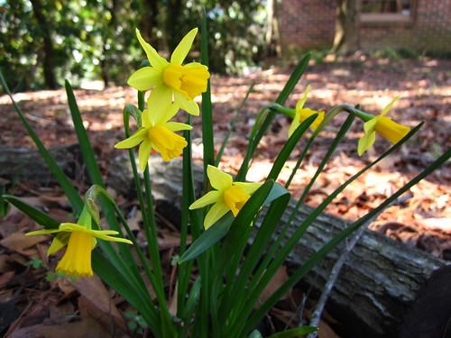 Mini daffodils.