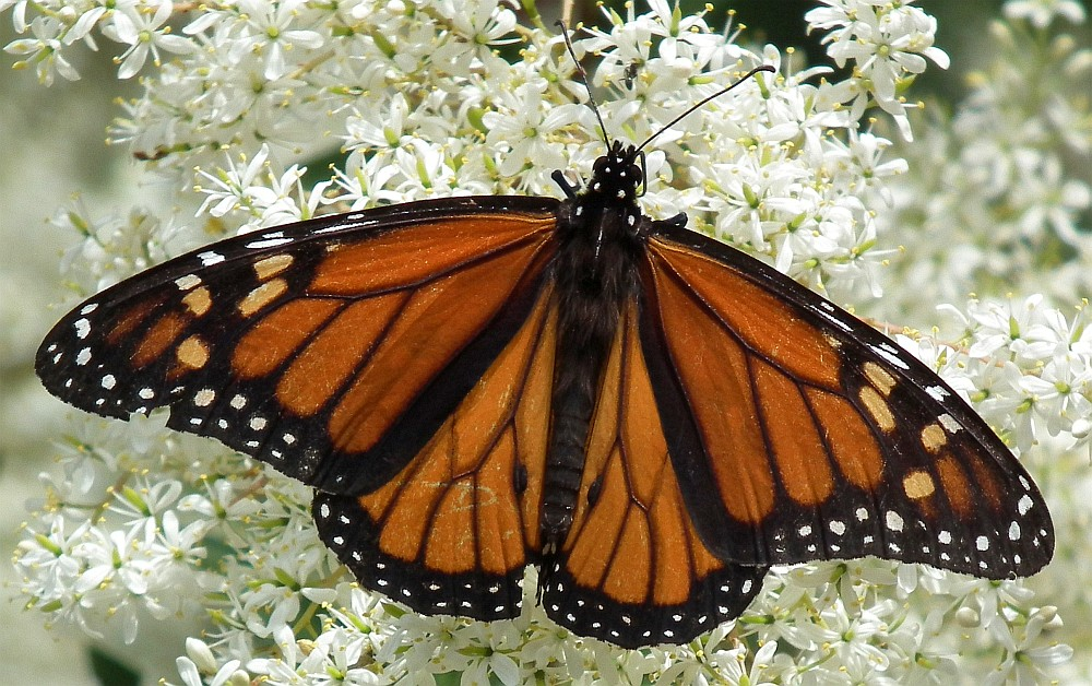 monarch butterfly 08