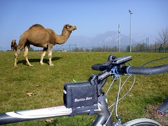 Funny Looking Cow (will_cyclist) Tags: france alps annecy animals cycling camel cowsx