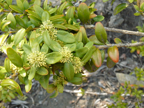 buxus sempervirens blossoms