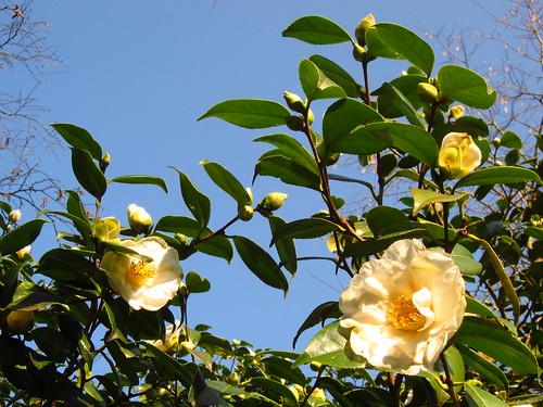 Camellia in Cannizaro Park