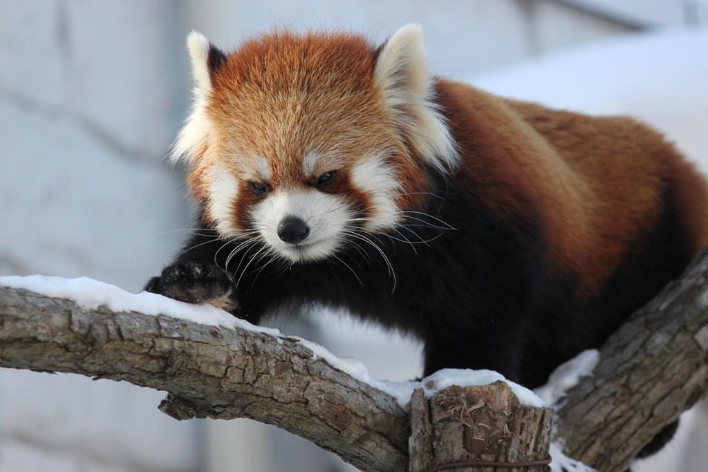 Sapporo Maruyama Zoo (5)