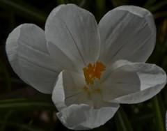 (IanAWood) Tags: raw naturallight surrey springflowers wisley flowermacros rhsgardens flowerportraits d3x nikkor105mmf28gvrmicro walkingwithmynikon