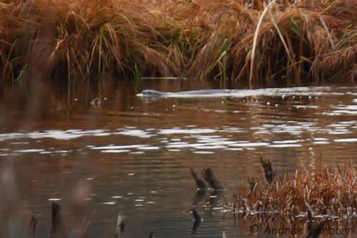 Otters in the Beaver Bog   -22.jpg