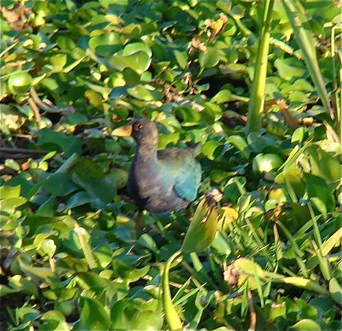 Palo Verde,  Gallereta morada (Porphyrula martinica)