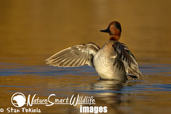 Green-winged Teal adult male Tekiela TEK5049 (Stan Tekiela's Nature Smart Wildlife Images) Tags: water birds sport geese swan wildlife birding hunting feathers ducks diving waterfowl avian hunt aythya stockimages anatidae goldenwater dabbling adultmale greenwingedtealanascrecca gamespecies stantekiela naturesmartwildlifewordsandimages