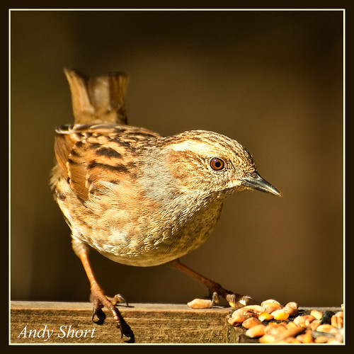 Dunnock Light and Shade.
