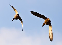 Speed (Steve-h) Tags: park ireland dublin nature birds flying duck action flight drake mallards steveh canoneos5dmk2 mygearandme mygearandmepremium mygearandmebronze canonef70200mmf28lisiiusm