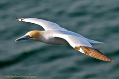 Gannet (w11buc) Tags: nature birds aberdeenshire wildlife gannets seabirds 5photosaday trouphead greatscot canoneos7d sigma150500mmos coppercloudsilvernsun