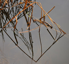 still water (pete ware) Tags: reflection geometric reed grey pond decay stillwater diamondshape nikond90 peteware