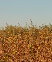 soy beans (JennaCitrus) Tags: color art digital photography andtherewaslight