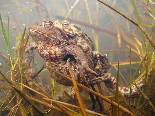 Common Toads / Llyffant Dafadennog (Bufo bufo) spawning