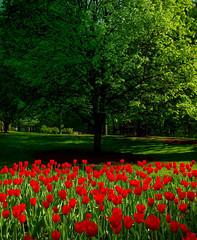 [フリー画像] 花・植物, ユリ科, チューリップ, 樹木, 201103280700
