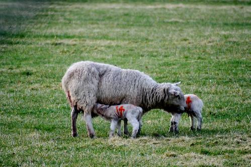 New Born Lambs, Speyside