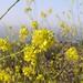 Hedge Mustard