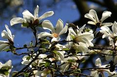 Magnolie, Kobushi- (magnolia kobus Borealis), Stadtpark Mainz Stadtpark Mainz (HEN-Magonza) Tags: mainz stadtpark kobushimagnolie magnoliakobusborealis blüten blossoms natur nature flora rheinlandpfalz rhinelandpalatinate deutschland germany