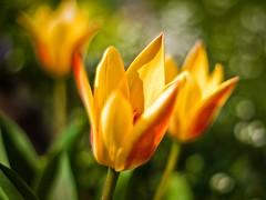 (238/365) (pinterpi) Tags: sun canon project eos 50mm spring nap day dof bokeh days tulip 365 f18 tavasz ajka tulipn 450d pinterpi