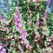 ロタラインディカ(キカシグサ)の花