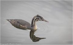 Juvenile Crested Grebe (cconnor124) Tags: carrmilldam billinge england unitedkingdom gb