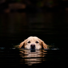 Wait up! (Joel Bedford) Tags: summer dog lake reflection water swimming swim canon lab labrador goldenlab l retreiver 28 dogface 70200 lowangle 40d highqualitydogs