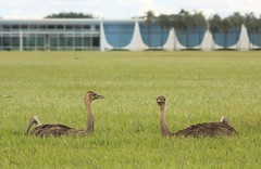 Emas e o Palcio da Alvorada (carlosoliveirareis) Tags: brazil bird southamerica grass niemeyer brasil df palace whbrasil