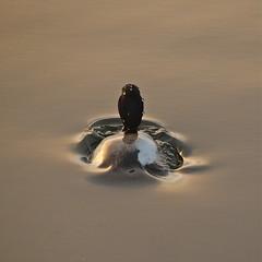 "Surfacing  or ""Water On a Ducks Back"" (nebulous 1) Tags: california bird water nikon huntingtonbeach bolsachicawetlands bolsachicaecologicalreserve platinumheartsaward nebulous1 mygearandme mygearandmepremium mygearandmebronze surfacingorwateronaducksback"