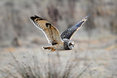Short-eared owl [Explored #1] (amylewis.lincs) Tags: england bird nature animal nikon wildlife sigma lincolnshire 2011 asioflammeus d3000 150500mm