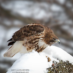 Red-tailed Hawk in Snow (Laura-Meyers) Tags: birdsofprey redtailedhawk thompkinssquarepark  redtailedhaw wwwlaurameyerscom wwwbirdseyesandbutterflies photocontesttnc11 dailynaturetnc11 redtailedhawkinsnow eastvillagebirds