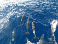 Dolphins ahead (vidasencilla) Tags: ocean sea mar atlantic dolphins oceano atlantico delfines