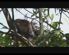 Iguana iguana (Green Iguana) (Arthur Chapman) Tags: video costarica iguana lizards reptilia iguanaiguana greeniguana inbio santodomingodeheredia taxonomy:class=reptilia taxonomy:kingdom=animalia taxonomy:phylum=chordata taxonomy:order=squamata taxonomy:genus=iguana taxonomy:common=greeniguana taxonomy:binomial=iguanaiguana geocode:accuracy=1000meters geocode:method=googleearth taxonomy:family=iguanidae geo:country=costarica geo:region=centralamerica