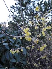 Chimonanthus praecox v. luteus