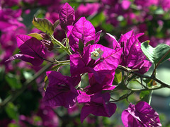 Pretty in Pink (rosiespoonerphotos) Tags: uk pink flowers england nature beautiful grancanaria closeup photography spring flickr dof bokeh ps pointandshoot compact g10 bougainvilleaglabra canonpowershotg10 rosiespooner rosyrosie2009 rosemaryspooner rosiespoonerphotography