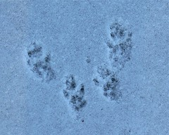 Squirrel Tracks in Snow - 1
