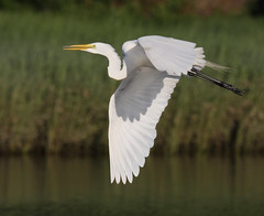 On the wing (v4vodka) Tags: white bird nature animal wings wildlife birding flight egret birdwatching greategret ardeaalba egretinflight czapla sunkenmeadowstatepark flyingegret czaplabiala