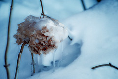 hydrangea covered in ice