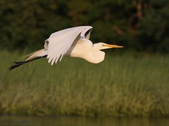 At sunset (v4vodka) Tags: white bird nature animal wings wildlife birding flight egret birdwatching greategret ardeaalba egretinflight czapla sunkenmeadowstatepark flyingegret czaplabiala