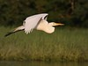 At sunset (v4vodka) Tags: white bird nature animal wings wildlife birding flight egret birdwatching greategret ardeaalba egretinflight czapla sunkenmeadowstatepark flyingegret czaplabiala